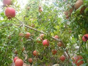 pomegranate-tree